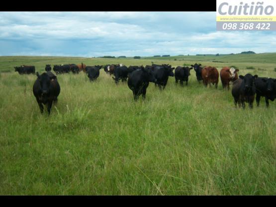 Campo 1028 hectareas ganadero en Lavalleja